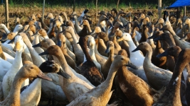 These ducks live a dream life. They get to roam rice fields looking for delicacies such as duck weed and larvae, simultaneously helping out the farmer with pest management and providing delicious eggs for the community