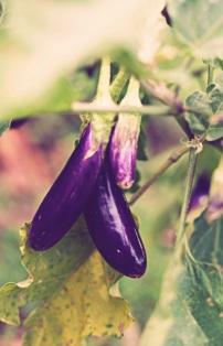 Local eggplant variety