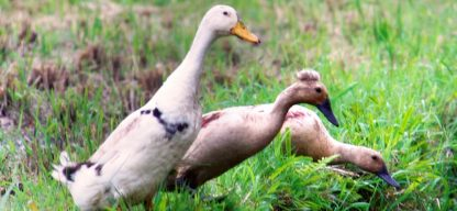 cropped-mohawk-duck-on-ricefield-1.jpg