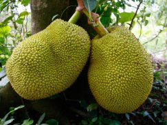 Food for the future. Jack Fruit, the world largest tree fruit. Edible fruit, skin and seed, it provides more calories in carbohydrate and protein per square meter than any other crop. Besides, the trees function as wildlife habitat, rehabilitate soil and provide wood for construction.