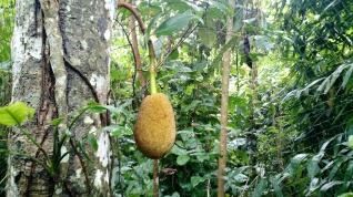 Jack fruit: up to 40 kilos a piece, the biggest tree fruit on the planet