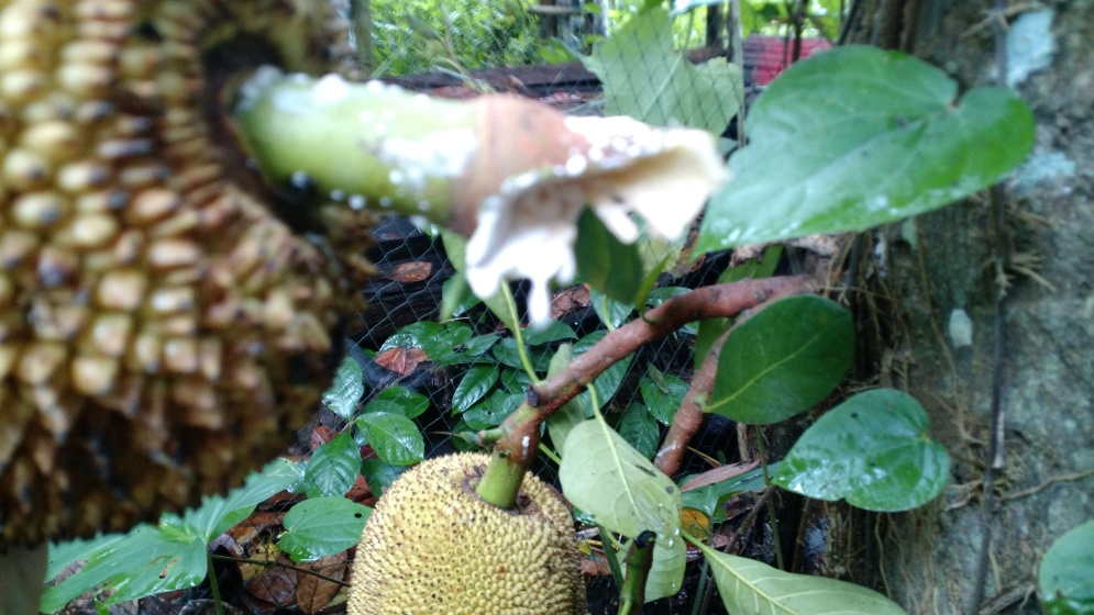 When chopped, a jackfruit will bleed a sticky wax which is used in Bali to catch dragonflies