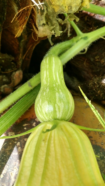 A butternut squash in the making. In the mean time we can eat the shoots.