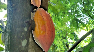 Ripe cacao on the tree
