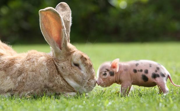 rabbit-pig.jpg